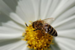Bee. Close-up in a bee Stock Image