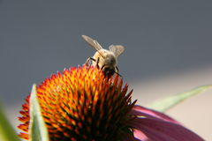 Bee. At work on top of flower Stock Image