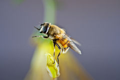 Bee. In the above chrysanthemum honey bee Royalty Free Stock Image