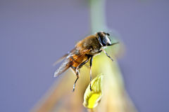 Bee. In the above chrysanthemum honey bee Royalty Free Stock Images
