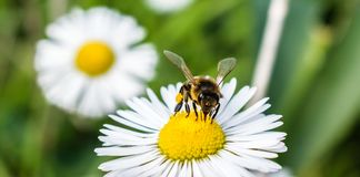 Bee absorbs nectar from chamomile`s flower stock photos