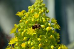 Bee on aeonium flowers Stock Images