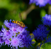 Bee on an ageratum Royalty Free Stock Images