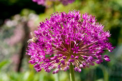 Bee on Alium Stock Image