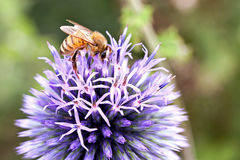 Bee on Allium Royalty Free Stock Photo