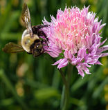 Bee on Allium Stock Photos