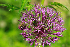 Bee and allium flower Royalty Free Stock Images