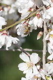 Bee and almond blossoms. In spring royalty free stock photos