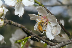 Bee on almond flower. Close up of a bee on an almond flowers Royalty Free Stock Images