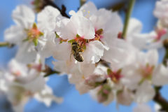 Bee on almond tree flower Stock Photography