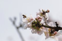 Bee on almond tree flower royalty free stock image