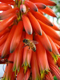 Bee on aloe flowers Royalty Free Stock Photos
