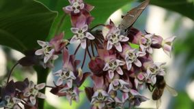 Bee and Amata nigricornis butterfly on milkweed. stock video footage