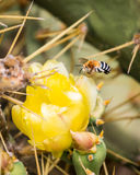 Bee Amegilla. Black and white striped bee Amegilla flying towards a yellow flower of cactus with long sharp spikes royalty free stock photo