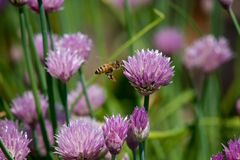 Bee Amongst the Chives Royalty Free Stock Photos