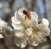 Bee And Blossom Royalty Free Stock Photos