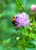 Bee And Flowers Royalty Free Stock Images