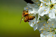 Free Bee And Flowers Royalty Free Stock Images - 4781309