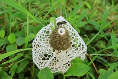 Free Bee And Many Of Tiny Insects On A White Bamboo Fungus Or Long Net Stinkhorn Mushroom In The Forest Stock Images - 182414694