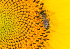 Free Bee And Sunflower Stock Photos - 15581923