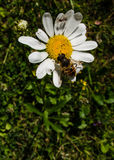 Bee and ant on a flower. The flower is like a supermarket for the insects stock photography