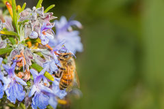 Bee apis melifera eating rosemary's violet flower Royalty Free Stock Photos
