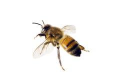 Bee, Apis mellifera royalty free stock images
