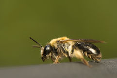 Bee - Apis mellifera Stock Photo