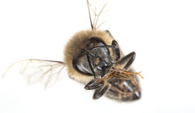 A bee apis mellifera Royalty Free Stock Images