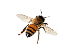 Bee, Apis mellifera Stock Image
