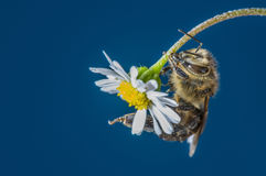 Bee apis mellifera on a flower Royalty Free Stock Images