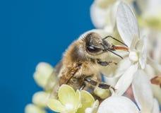 Bee apis mellifera on a flower Royalty Free Stock Photos