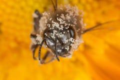 Bee apis mellifera with pollen Stock Photo