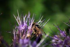 Bee, apis mellifera and honey plant phacelia. royalty free stock photo