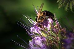 Bee, apis mellifera and honey plant phacelia. stock image