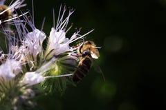 Bee, apis mellifera and honey plant phacelia. royalty free stock photos