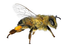 Bee Stock Images