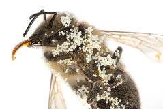 A bee apis mellifera with pollen Stock Image