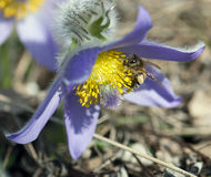 Little bee pollinate pulsatilla flower Royalty Free Stock Images