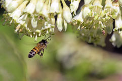 Bee Apis mellifera pollinating wild flower. SANTANA DE PARNAIBA, SP, BRAZIL - AUGUST 1, 2015 - Bee Apis mellifera, insect of the order Hymenoptera created today Stock Images