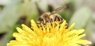 Bee (Apis mellifera) Royalty Free Stock Photos