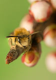 Bee - Apis mellifera Stock Images