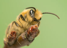 Bee - Apis mellifera Stock Photography