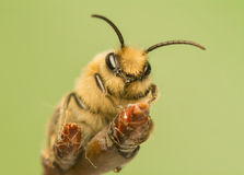 Bee - Apis mellifera Royalty Free Stock Image