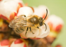 Bee - Apis mellifera Royalty Free Stock Photos