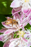 Bee apis mellifica Stock Images