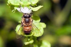 Bee apis mellifica Stock Image