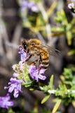 Bee apis mellifica Royalty Free Stock Photos
