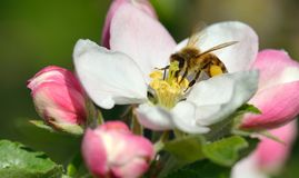 Bee in apple blossom Stock Photo