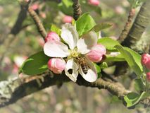 Bee on an Apple Blossom. A bee is busy at work with the task of pollination on an apple tree blossom stock photography